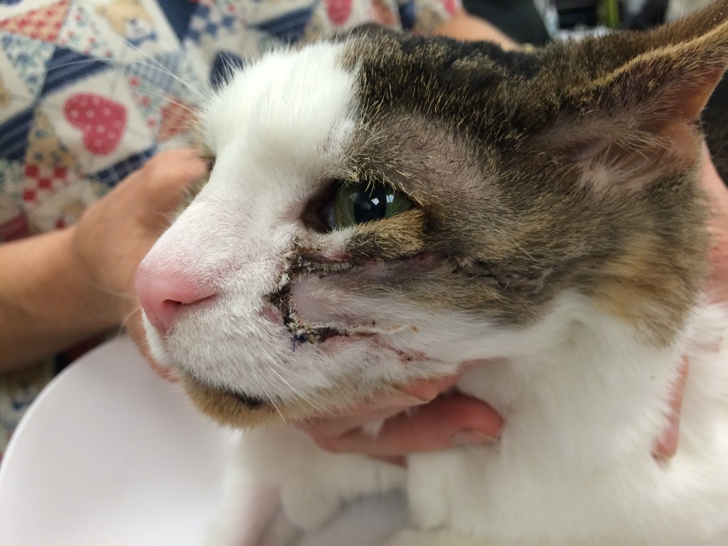 Feline Fibrosarcoma In The Cheek A Surgical Story Dr