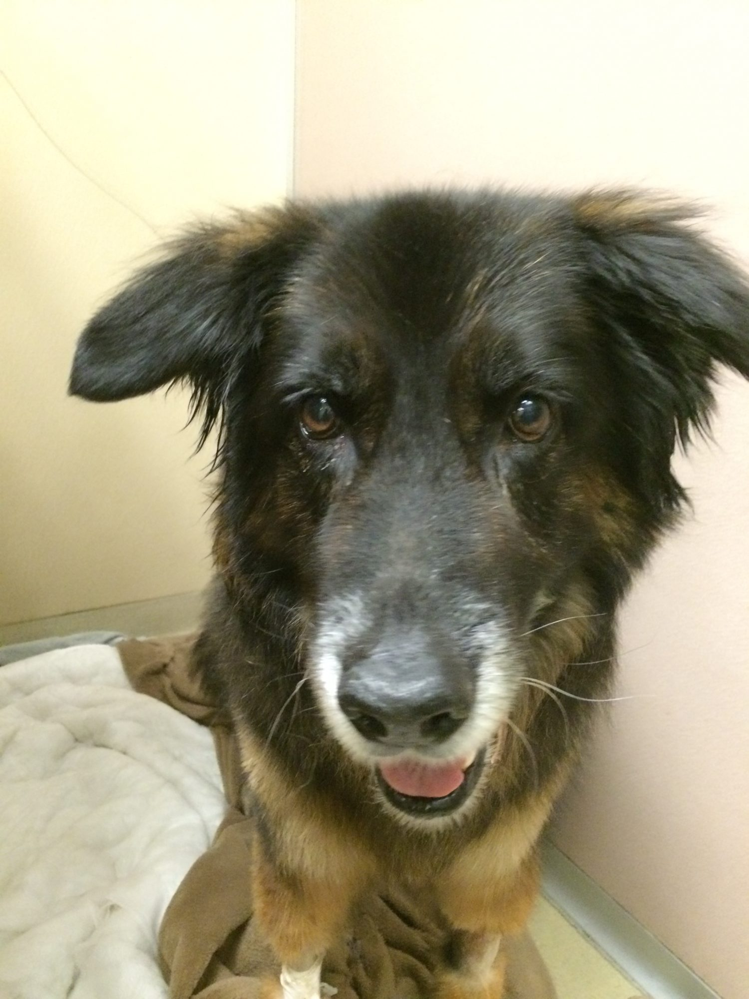 German Shepherd Needs Surgery To Catch His Breath Dr
