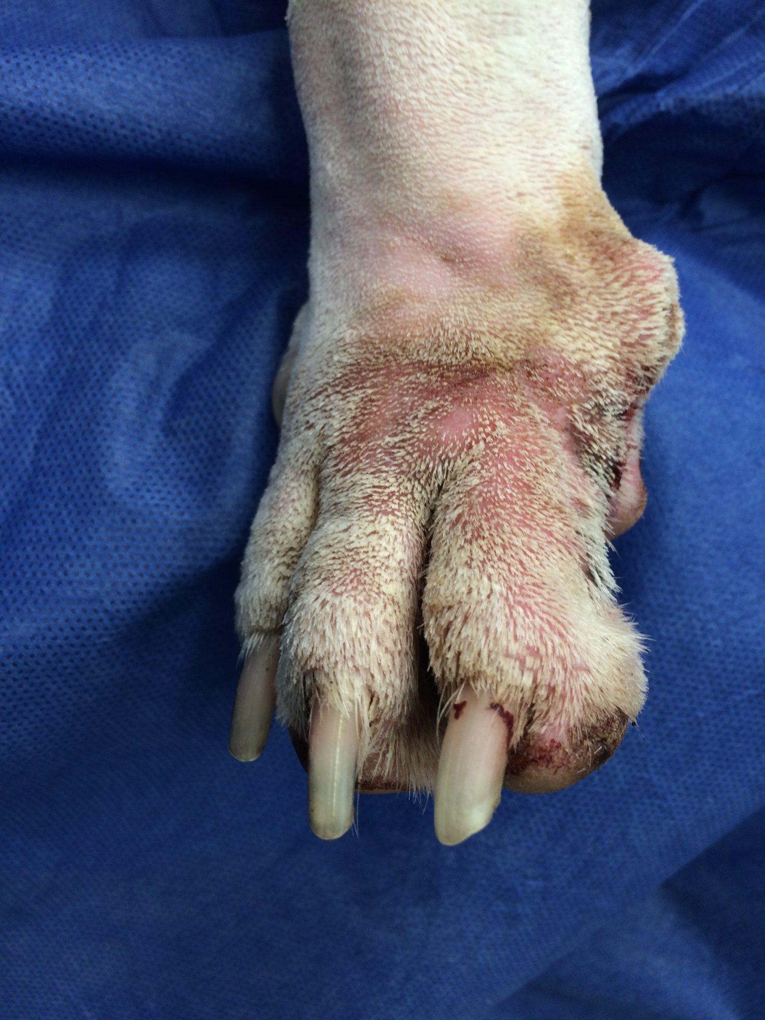 Bulldog Loses A Toe Dr Phil Zeltzman S Blog